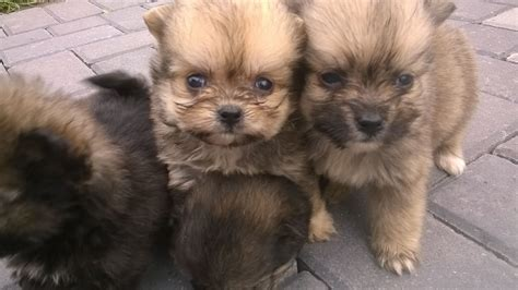 shih tzu and pomeranian puppies pomeranian x shih tzu puppies for sale llanelli carmarthenshire pets4homes
