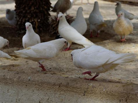 feeding the white dove by the human in benidorm park stock