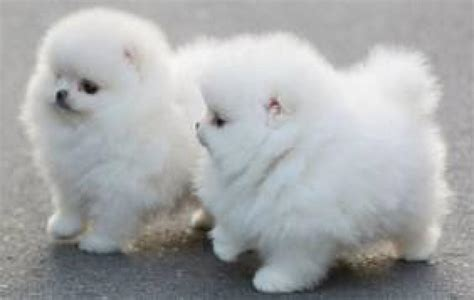 white pomeranian puppy for sale pomeranian puppies for sale in kathu clasf animals
