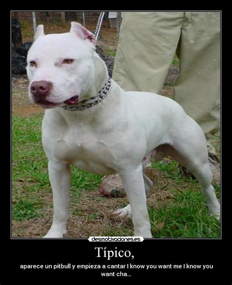 fotos de pirbull pitbulls imagenes perturbadoras advair for sale 187