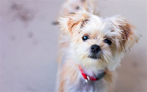 shih tzu and terrier mix shorkie the shih tzu terrier mix the happy puppy site