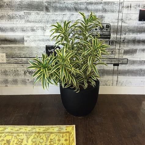 Interior Plants India by The Best Indoor Plants From The Sill Well