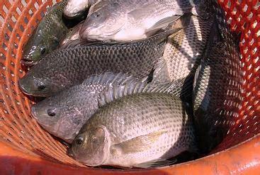 Benih Ikan Nila Ciamis jual ikan nila ikan benih dan ikan konsumsi