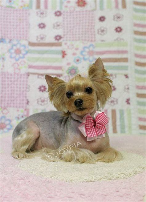 korean yorkie haircuts korean dog grooming style yorkshire terri 235 r asian
