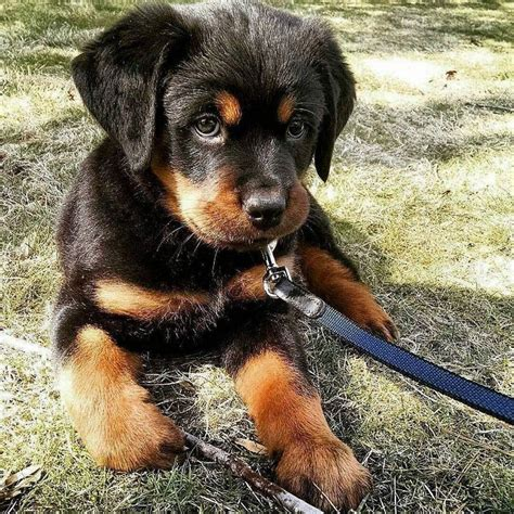 baby rottweiler 25 best ideas about rottweiler puppies on baby rottweiler rottweiler