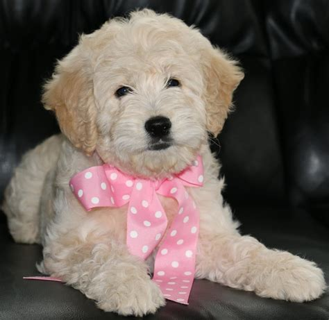 goldendoodle puppy adoption f1b mini teddy goldendoodle puppies available