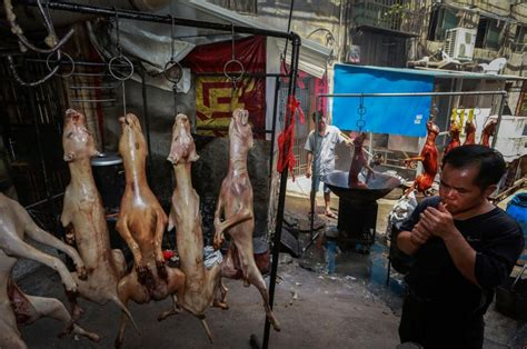 yulin festival 2017 china to reportedly ban at the infamous festival news barber
