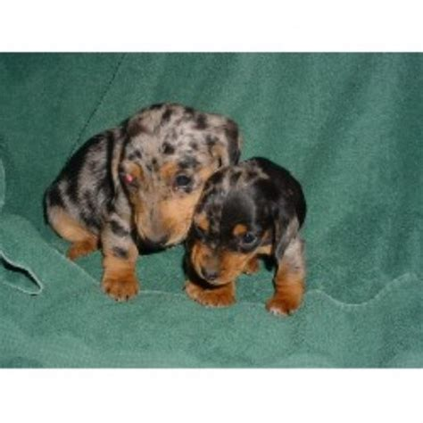 dachshund puppies in michigan dachshund doxie breeders in michigan freedoglistings