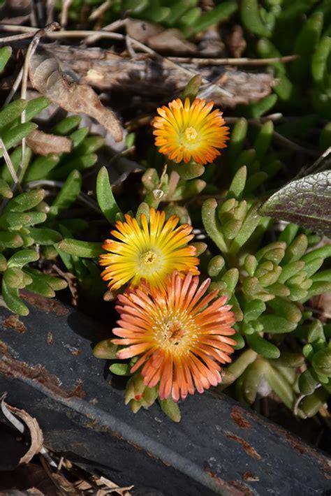 wheels   orange  ice plant delosperma