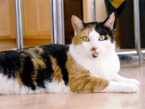 calico color cats lover cat types by fur color