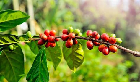 complete guide  touring  coffee plantation  panama