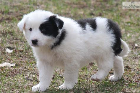border collie puppies for sale in michigan stokey border collie puppy for sale near grand rapids michigan 24e5dbaa 6a31