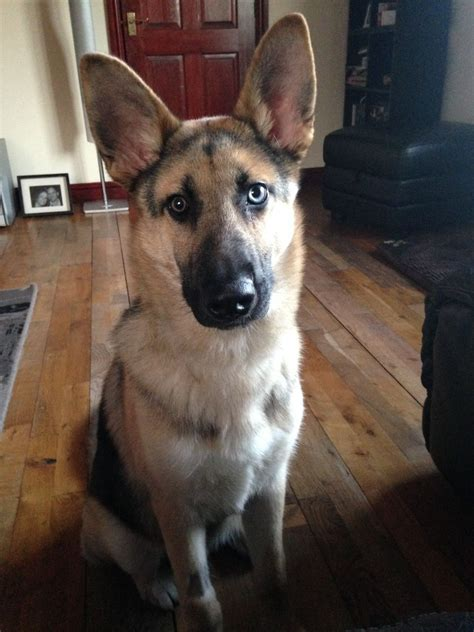 german shepherd mixed with husky german shepherd husky mix nottingham nottinghamshire