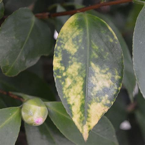 camellia diseases and problems nurseries online