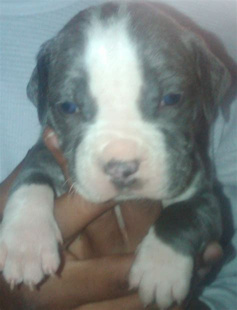 puppies for sale in ventura county blue pitbull puppies for sale adoption from oxnard california ventura adpost