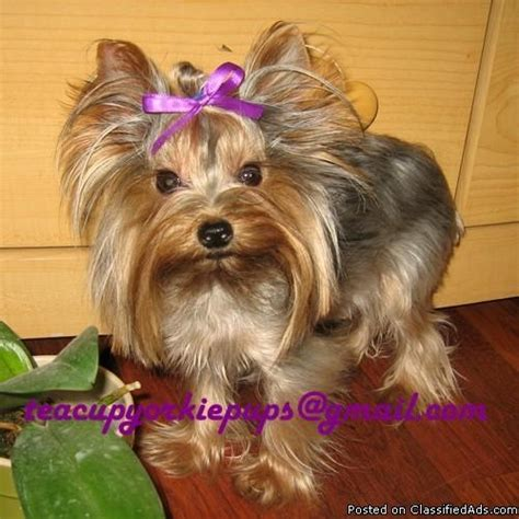 tea cup yorkie hair cuts haircuts for yorkie male dogs hairstyle gallery