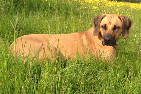 registered rhodesian ridgeback puppies for sale 6 stunning rhodesian ridgeback puppies bristol bristol pets4homes