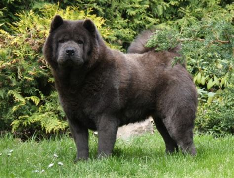 house of chow kennel vom m 252 hleberg chow chow breeders of merit the breed club connection