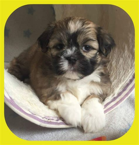 shih tzu x lhasa apso puppies for sale lhasa apso x shih tzu puppies sheffield south pets4homes