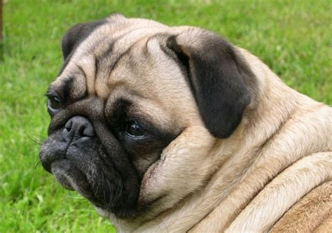 are pugs family dogs all list of different dogs breeds family dogs