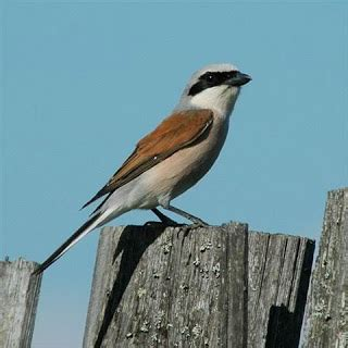 mengenal burung pentetsaung bird burung kicauan