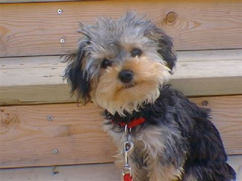 yorkie and poodle mix ellie mae yorkie poo thriftyfun