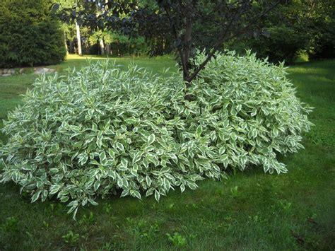 shrubs for shade zone 6 cornus sibirica alba variegated twig dogwood shrub our zone 5 plant collection canada