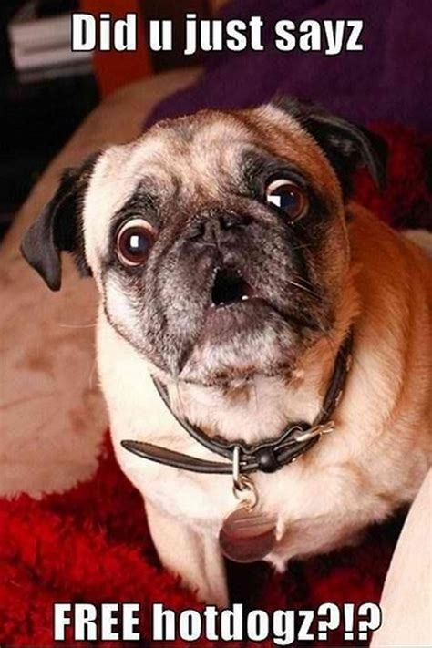 pug hilarious and pugs 14 pics