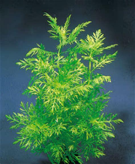 aquascape reviews tanaman air aquascape review hygrophila diformis blog