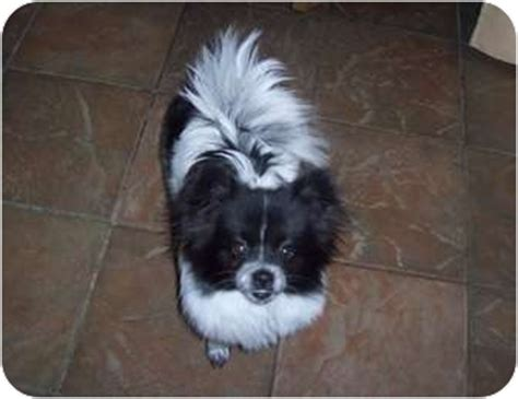 japanese chin pomeranian maggie adopted ppr12 06 beavercreek oh pomeranian japanese chin mix