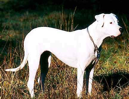 Picture 4 of 4 - Dogo Argentino Pictures & Images ...