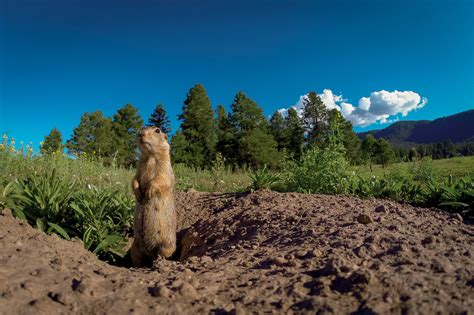 prairie arizona can prairie dogs talk the new york times
