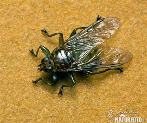 flies in the backyard image gallery louse fly