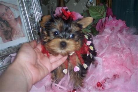 pomeranian puppies for sale in killeen and lovely yorkies babies for adoption 27753760