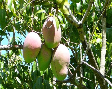 mango tree with fruits welcome to