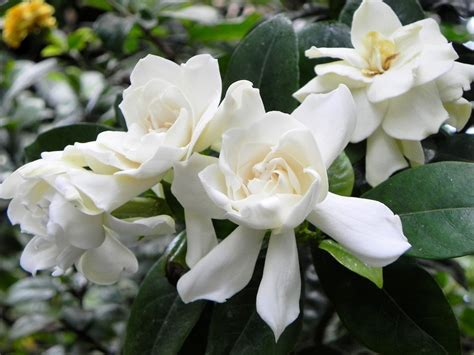 high c gardenias gardenia flower wallpapers gardenia flower wallpapers and
