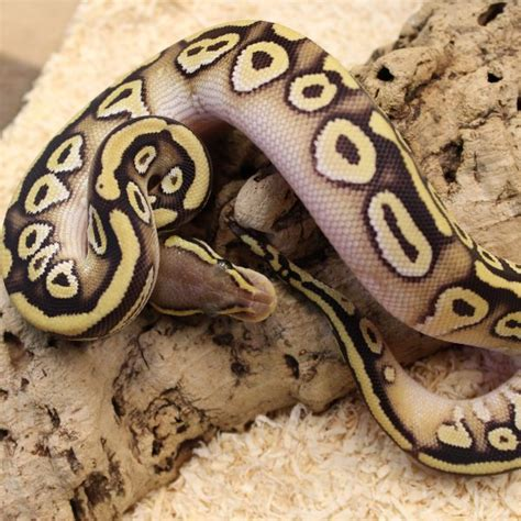 ball python heat l pastave royal python het ghost python regius