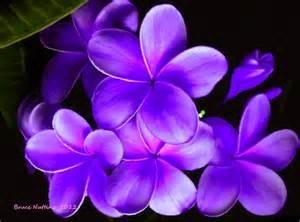 plumeria colors purple plumeria inked