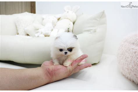 pomeranians for sale in los angeles pomeranian for sale snow white teacup size pomeranian puppies 2 breeds picture