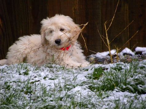 goldendoodle puppies oregon about goldendoodles aussiedoodle and labradoodle puppies best labradoodle breeders