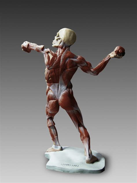 male ecorche human anatomy reference 3d model 3d 147 99 human anatomy ecorche male model
