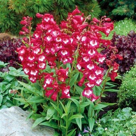 Benihbijibibit Bunga Penstemon Tubuar Bells penstemon hartwegii tubular bells 50 seeds perennial ebay