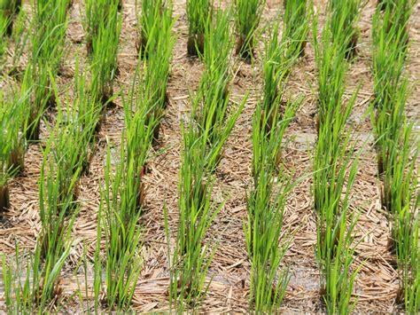 how to grow rice hgtv