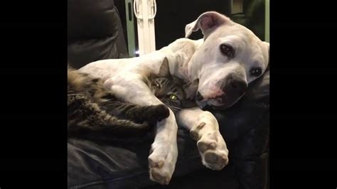 cat scares dog on couch dog and cat cuddle on couch youtube