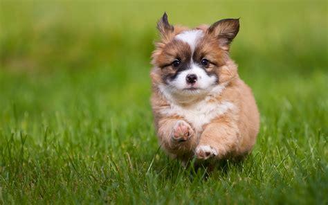 grass puppy pembroke corgi puppy grass jump hd wallpaper