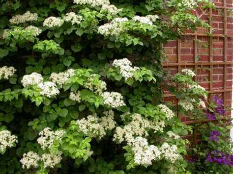 climbing plants for shady areas hydrangeas for st louis