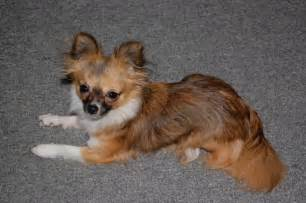 when do chihuahua puppies stop growing when does the average chihuahua stop growing chihuahua forum chihuahua breed