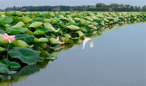 fiori di loto mantova parco mincio un calendario per la biodiversit 224