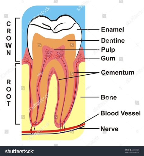 cross section of a tooth vector cross section tooth crown root stock vector
