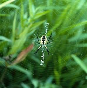Garden Spider Illinois Illinois Spider Collection Illinois State Museum